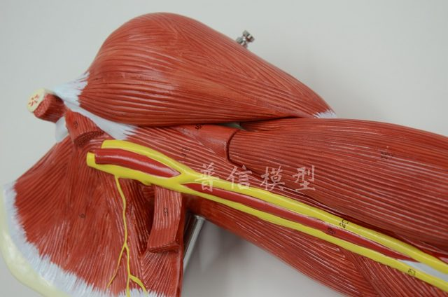 Online Shop Free shipping&Upper limb muscle model, vascular nerve ...