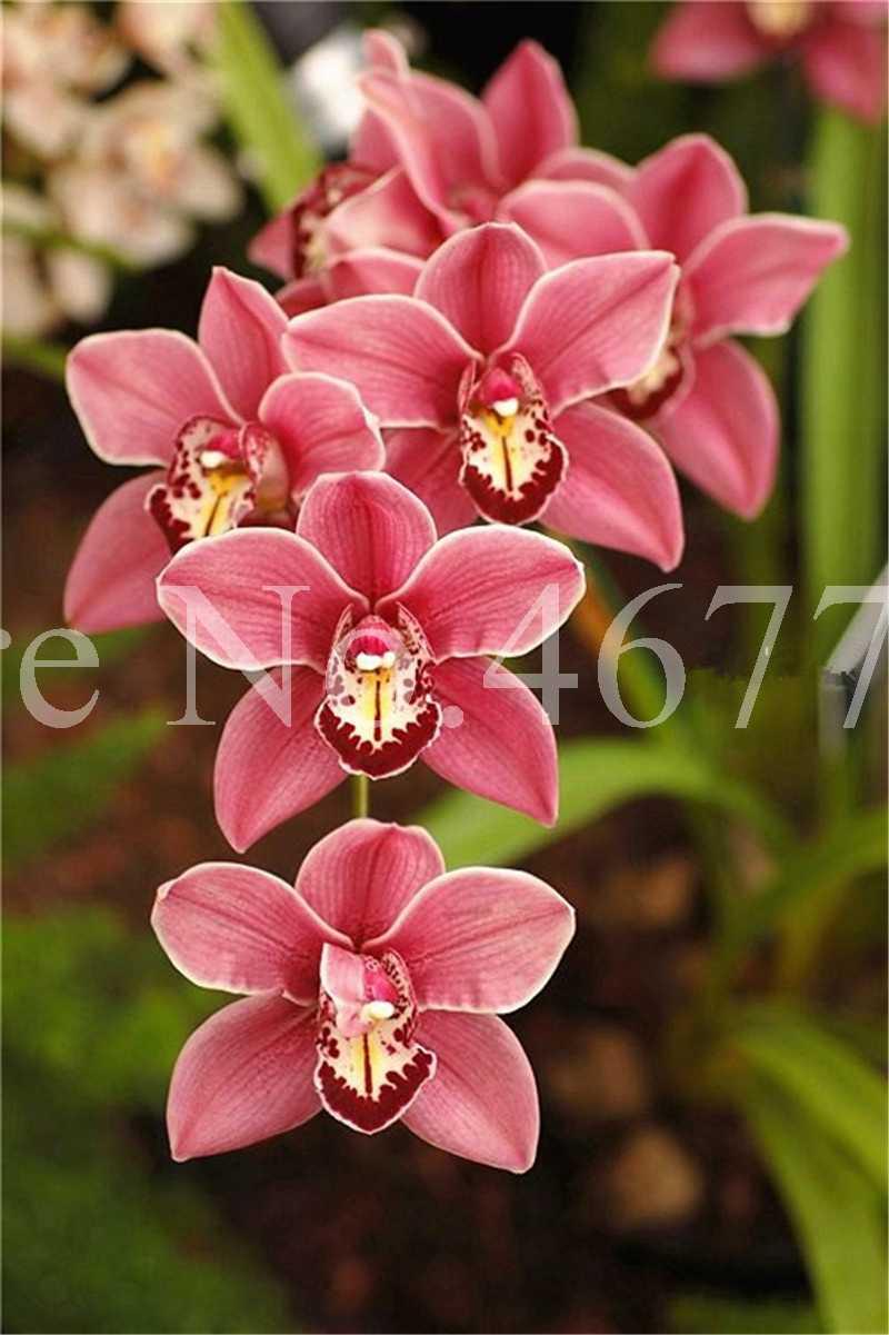 100 ชิ้น/ถุง Bonsai Cymbidium Floribundum Orchid Plant กลางแจ้ง Growth Potted ดอกไม้ Planta สำหรับบ้านสวนดอกไม้หม้อ