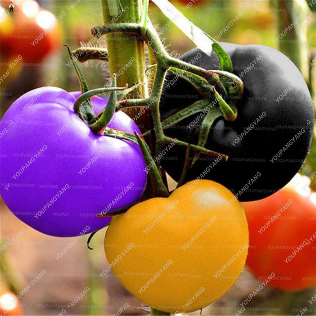 500pcs Rainbow Tomato bonsai rare tomato plants organic vegetable & fruit potted planting for home garden