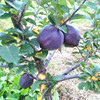30Pcs Bonsai Black diamond apple tree plants dwarf apple rare perennial fruit for home garden 3
