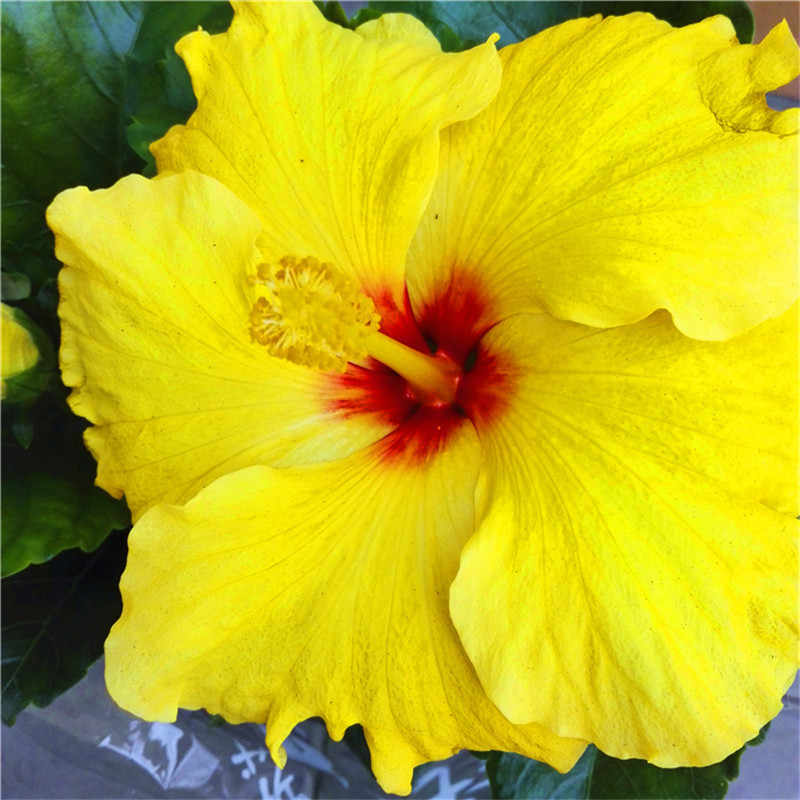 Detail Feedback Questions About On Sale 20pcs Hibiscus Plants