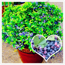Blueberry fruit bonsai,high Germination fruit tree flores for home garden planting,easy to grow,100pcs/bag(China)