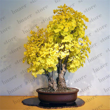 10 Pcs/  Ginkgo Biloba Bonsai, Maidenhair Tree Pot Exotic Plant Bonsai Flower New Home Garden Ornamental Plant