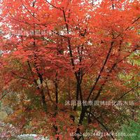 authentic Shuepichi red winged maple plant tree plant level Shuepichi tree bonsai 200g / Pack tree bonsai