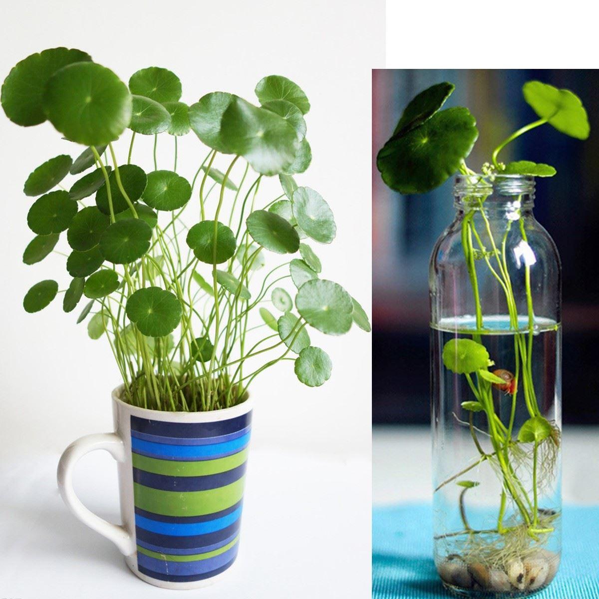 50 pcs bag copper grass pilea seeds cold water flower - Pot de plante interieur ...