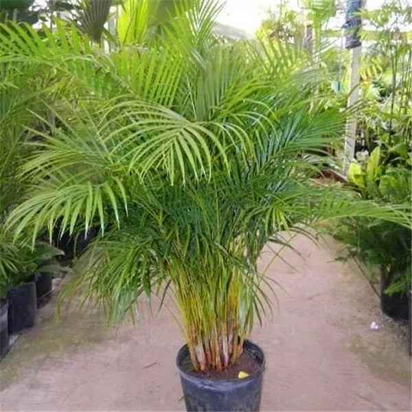 Zlking Hot Sale Palm Bamboo Home Gardening Wholesale 20pcs