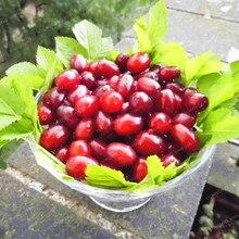 10Pcs Dogwood Cornelian Cherry Cornus Seeds