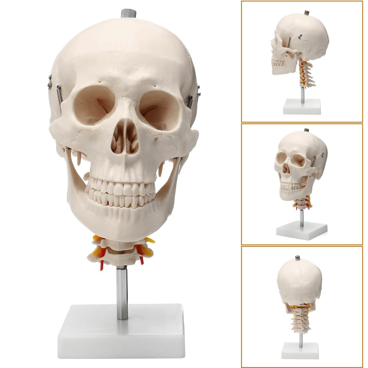1:1 Life Size Human Skull Anatomical Anatomy Skull Model Cervical Spine Head Skeleton School Educational Medical Teaching
