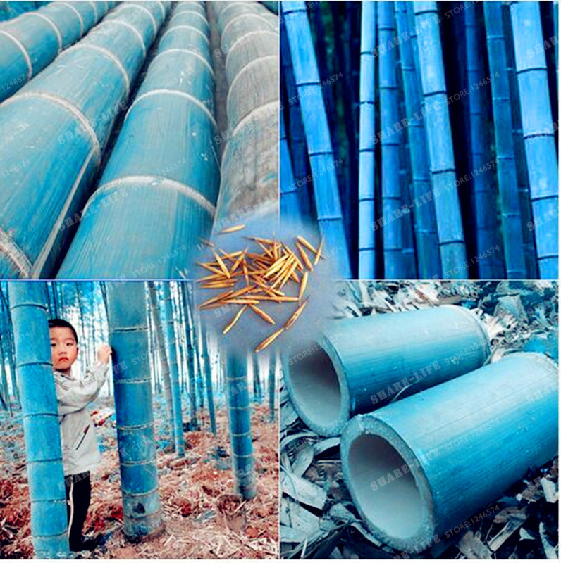 50pcs Rare Blue Bamboo Bonsai Decorative Garden Herb Planter Bambu Tree Phyllostachys Heterocycla Bonsai For Diy Home Garden
