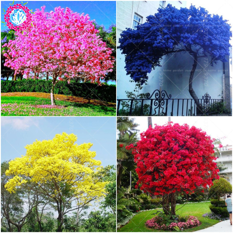 Bauhinia  Tree Graines Perennial Blooming Plants Full Of Tree Blue Flowers For Garden Plant  Sementes De Flores-10pcs