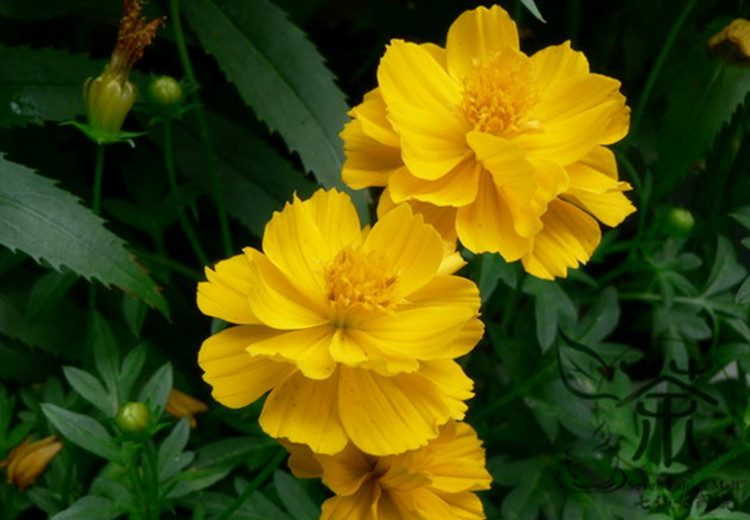 Novel plant cosmos sulphureus 60pcs yellow cosmos flower novel plant cosmos sulphureus 60pcs yellow cosmos flower colors mostly yellow gold orange red sulfur cosmos in bonsai from home garden mightylinksfo