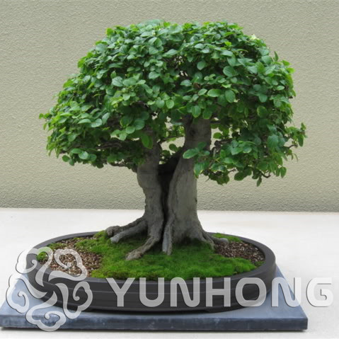 Elm Bonsai Chinese Elm Bonsai Tree Plant This Is 100% True 30 Pcs Mini Ulmus Pumila Bonsai Free Shipping