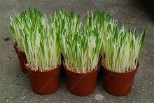 200 шт./пакет Пестрые Кот семена Трав Листва растений пшеницы травы мяты запах улучшенный корм для кошек для вашего питомца
