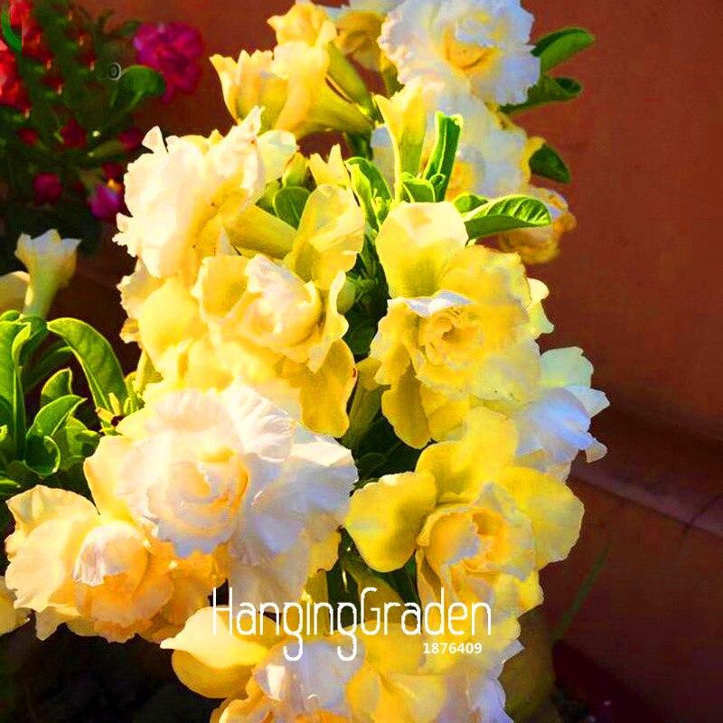 желтый desert rose