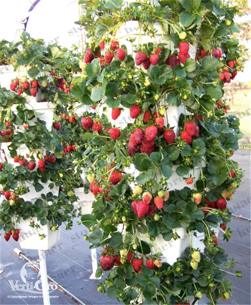 Image 3 - 300pcs mountaineering strawberry bonsai plants home garden with strawberry NON GMO strawberry tree big delicious fruit-in Bonsai from Home & Garden