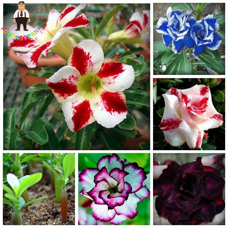 1pcs Rainbow Desert Rose bonsai Bonsai Thailand Adenium Obesum bonsai Balcony Flowers bonsai Mixed Hot Selling