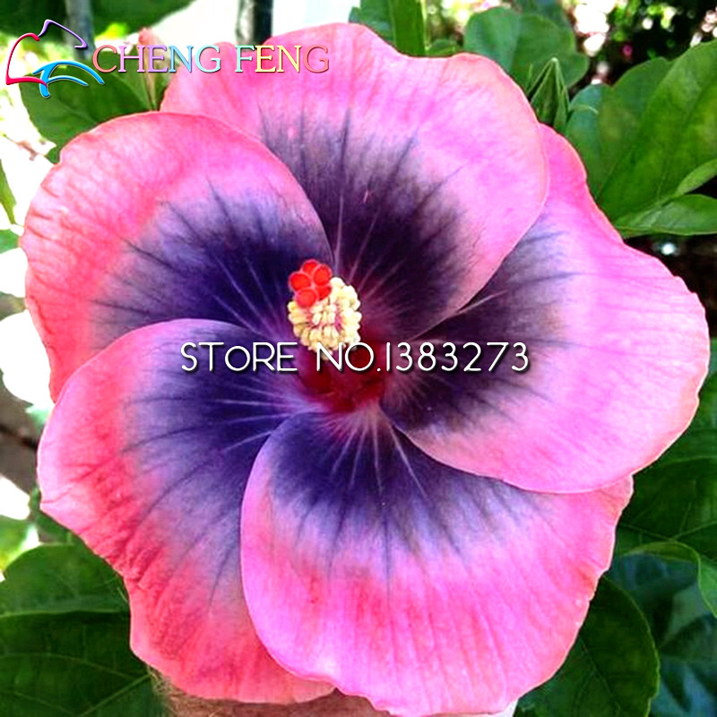 200 Pcs Giant Hibiscus Flower Seeds Imported China Flowers Hibiscus     200 Pcs Giant Hibiscus Flower Seeds Imported China Flowers Hibiscus Seeds  Easy Grow For Home Garden Best Christmas Gift For Kids in Bonsai from Home