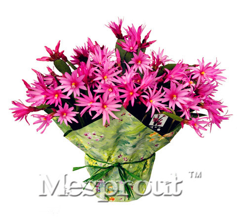 100pcs Schlumbergera Bridgesii Seeds .anti-Radiation,Imported cactus seeds hybrid bonsai seeds,succulents seeds