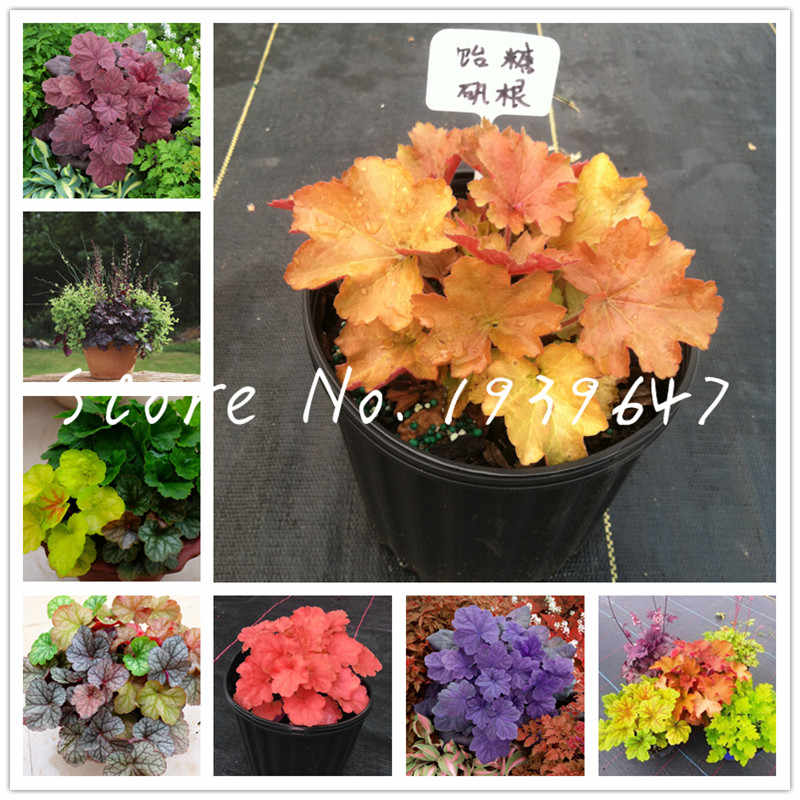 100 pcs Heuchera micrantha bonsai Exotic foliage flowers Cold-tolerant potted plants for home garden decoration fiores