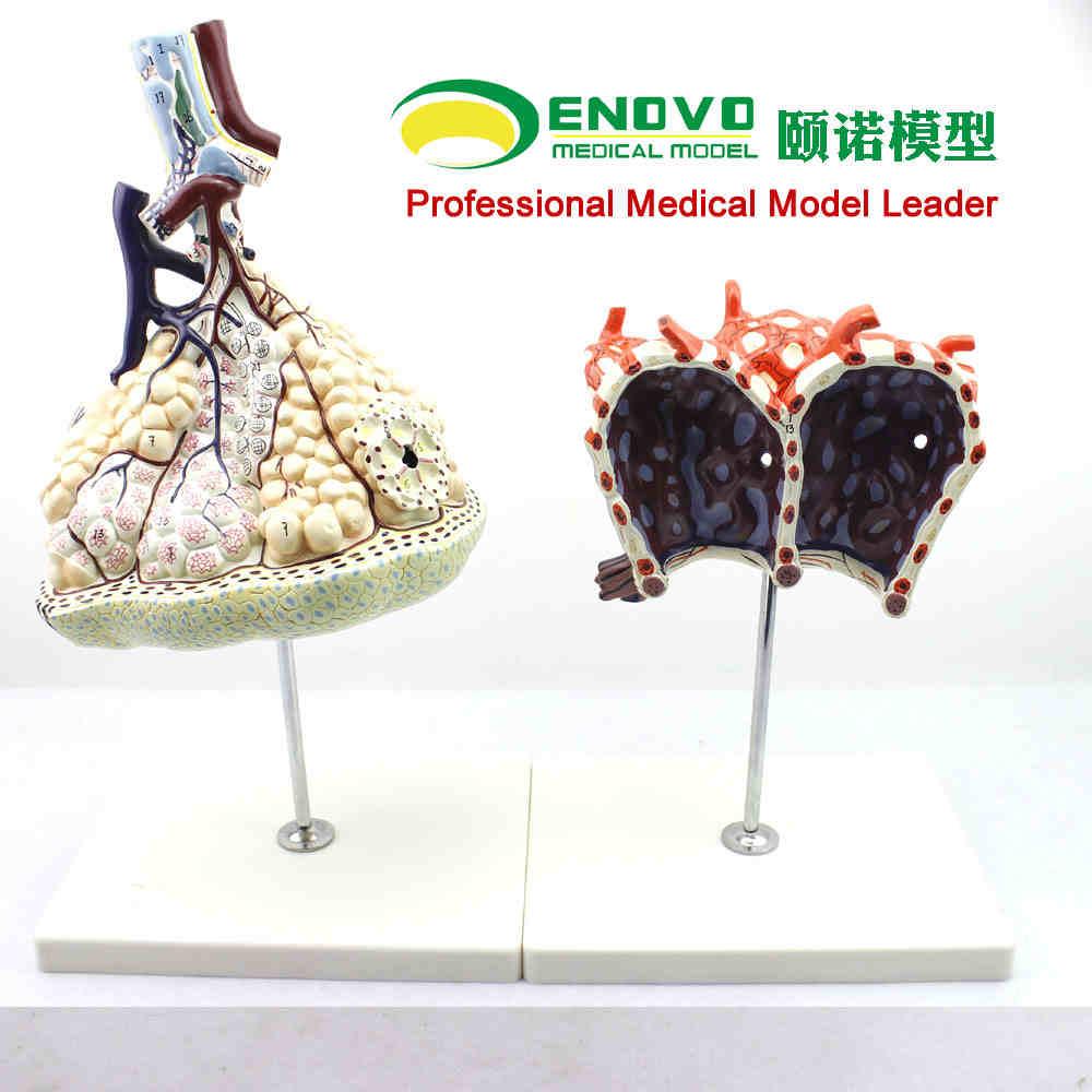 Luxury Lung Segments Anatomy Image - Human Anatomy Images ...