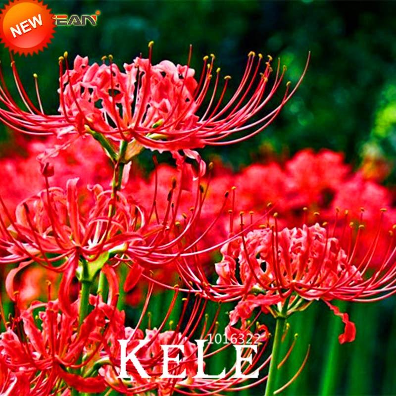 Big Sale!100 PCS/Bag Red Lycoris Bonsai Potted Plant Lycoris Radiata Flower Plants Perennial Planting,#LCA6SH