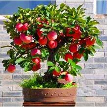 Trial Bonsai Apple Tree Seeds apple seeds (used wet sand sprouting )fruit bonsai garden in flower plant pot for eat food 30 pcs(China)