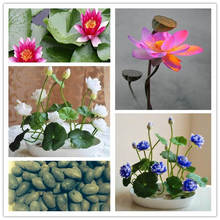 Big promotion! 100% real Bowl lotus pots Water lilies Hydroponic plants summer Flower Bonsai 5 pcs easy to plant free ship