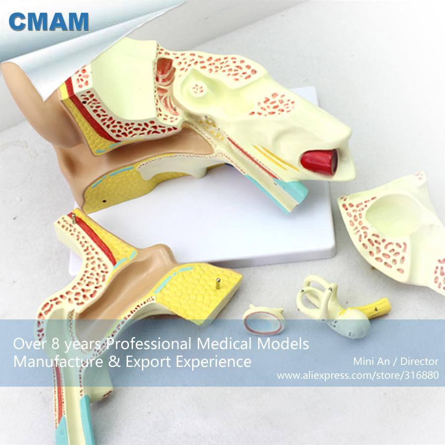 12520 CMAM-EAR05 Anatomy Human Ear Structure Model 4x Life Size,  Medical Science Educational Teaching Anatomical Models cmam viscera01 human anatomy stomach associated of the upper abdomen model in 6 parts
