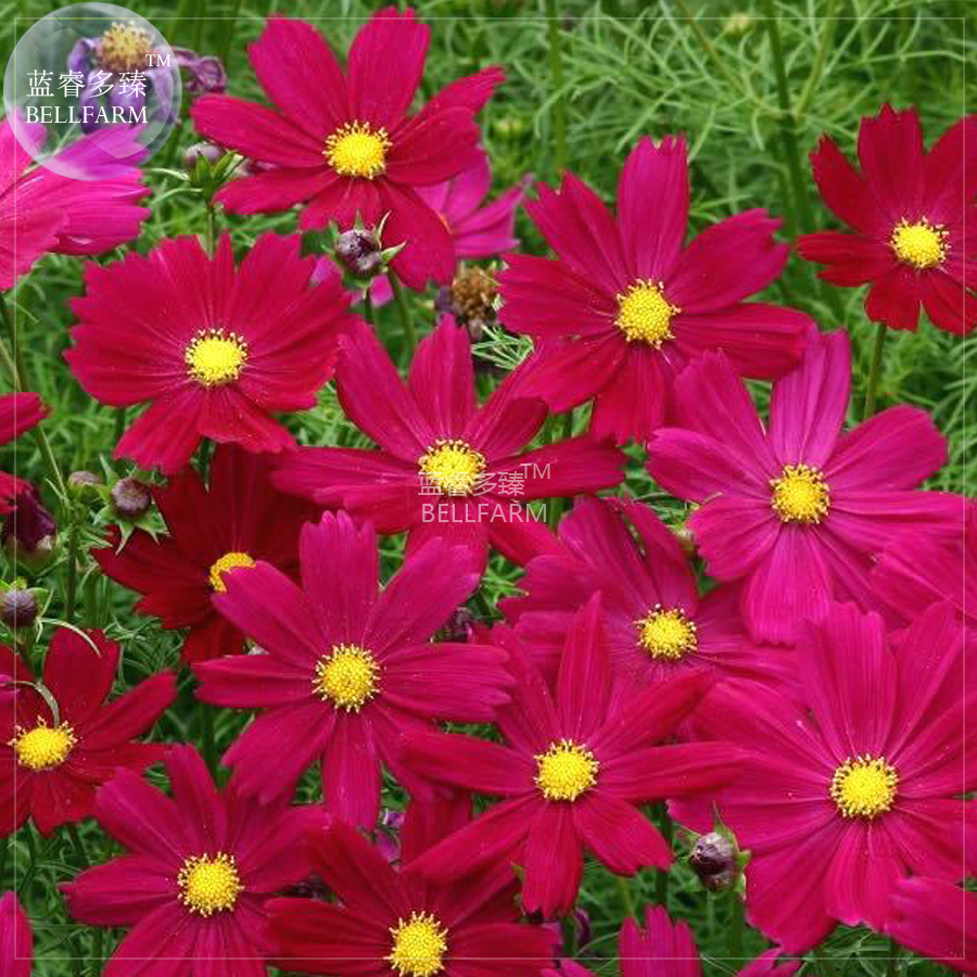 Bellfarm cosmos coreopsis blackish coffee red striped dark red white bellfarm cosmos coreopsis blackish coffee red striped dark red white rose red perennial flower seed 50 seed nice home garden in bonsai from home izmirmasajfo