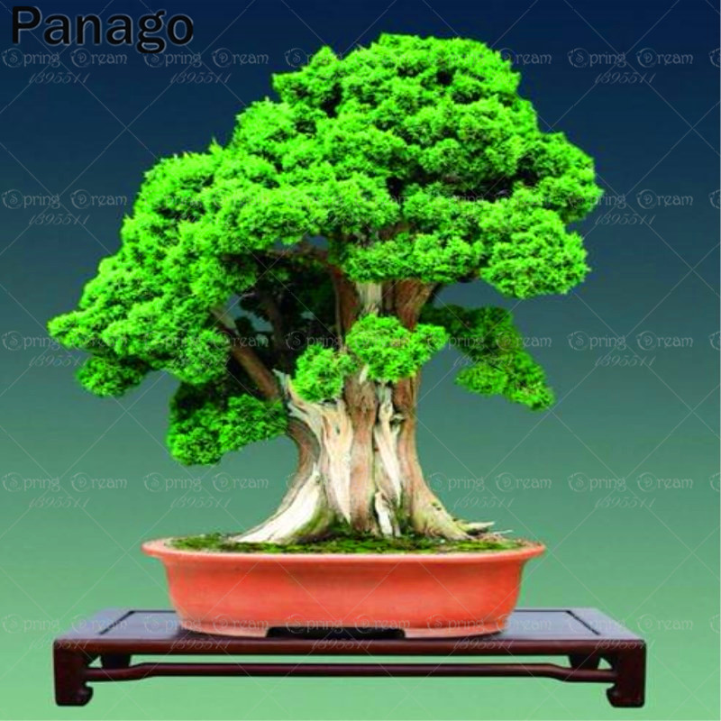 20pcs Thuja sutchuenensis seeds Rare Bonsai Tree Seeds beautiful Perennial indoor plants Purifying air for home garden pot plant