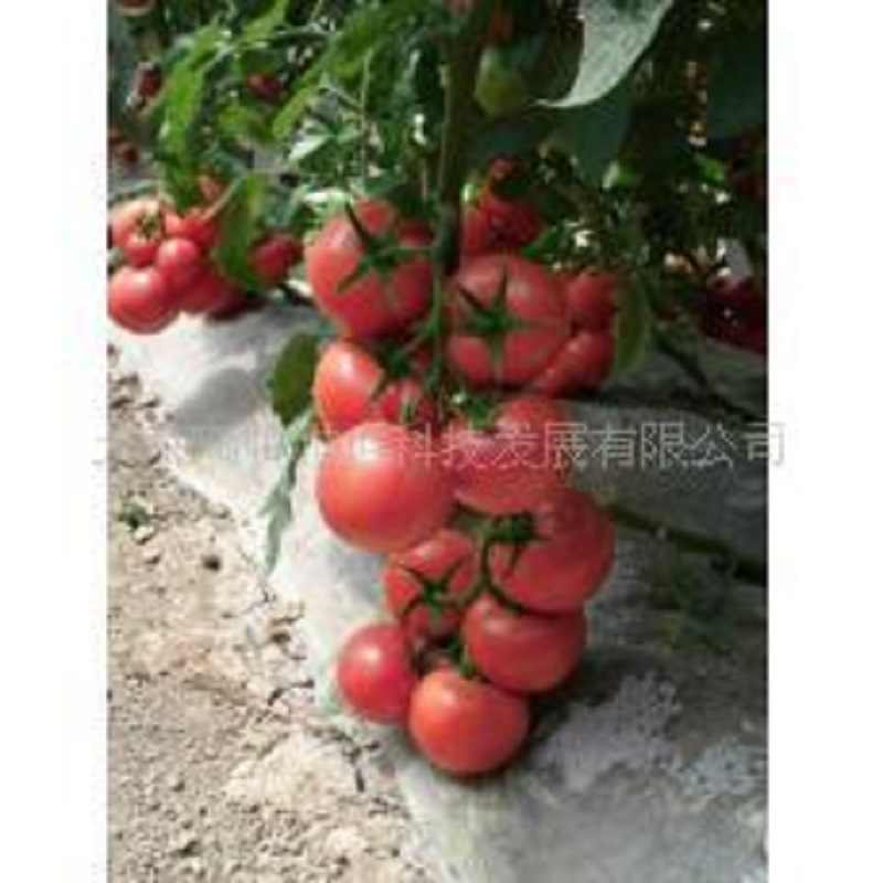 Pink tomato bonsais Caramel anti- TY virus 100pcs organic vegetables