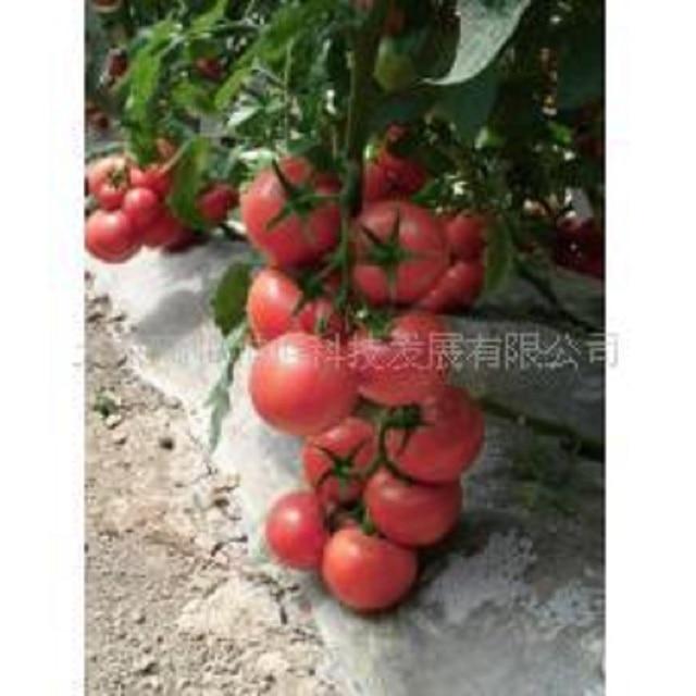 Розовый томатный bonsais карамельный анти-ty вирус 100 шт органические овощи