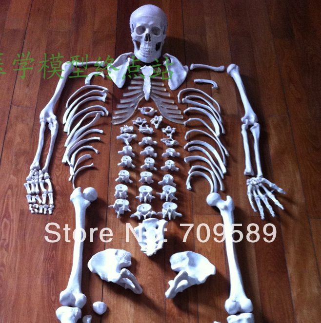 Disarticulated Human Whole Body Skeleton Model, Disarticulated Skeleton with Skull bix a1005 human skeleton model with heart and vessels model 85cm wbw394