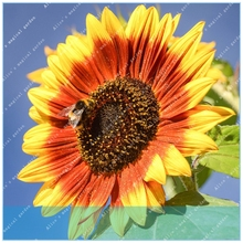 buy real sunflowers and get free shipping on aliexpress com