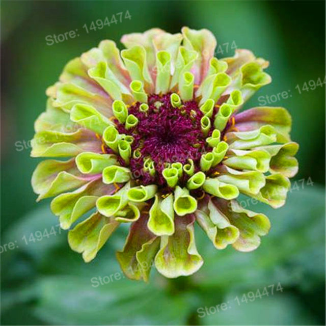 Online shop 100 pcs mixed color zinnia seeds bonsai potted flower 100 pcs mixed color zinnia seeds bonsai potted flower seeds rare spring flowers plants for home garden mightylinksfo