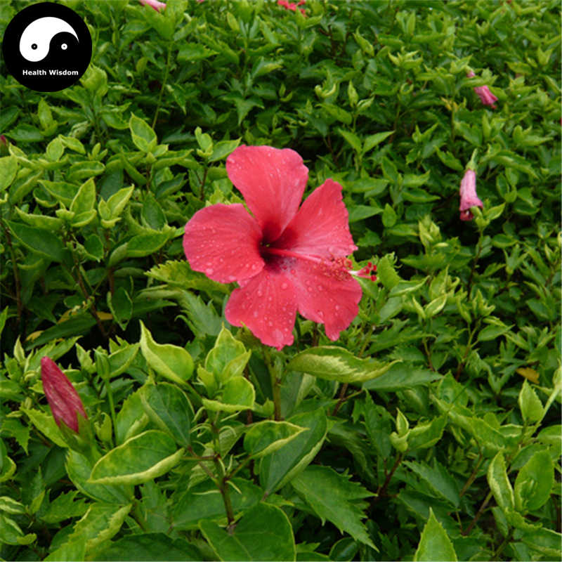 Detail Feedback Questions About Buy China Rose Hibiscus Tree Semente