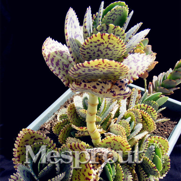 Cactus roxo popular buscando e comprando fornecedores de - Cactus raros fotos ...
