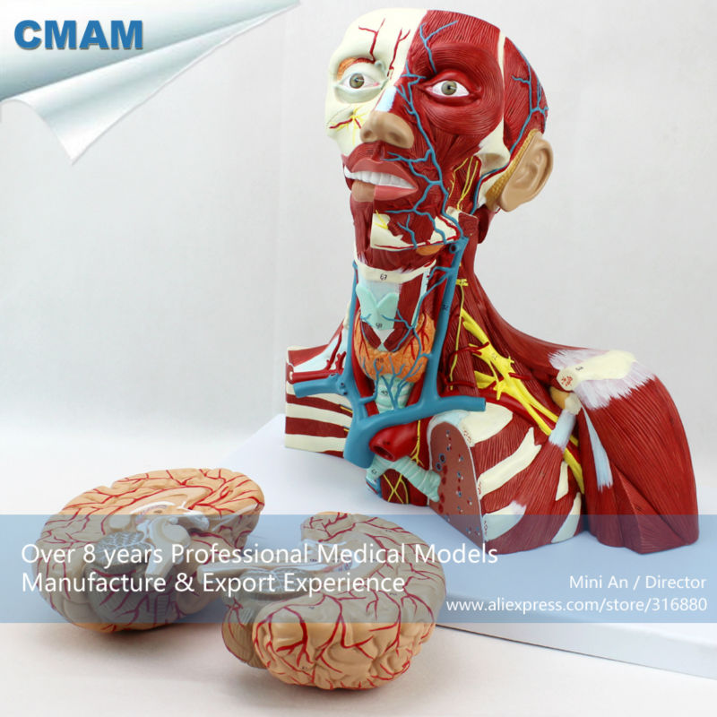 12310 CMAM-MUSCLE16 Medical Education Anatomical Neck Muscle Anatomy Model lego education 9689 простые механизмы