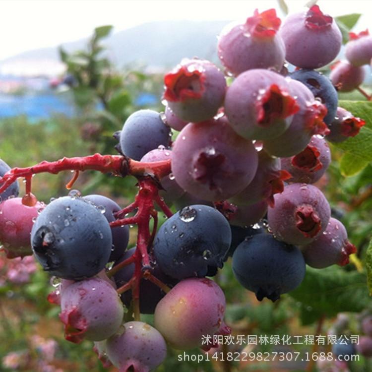Голубика черника качество бонсай Южной фрукты ashei с питанием Чаша Поставки для обеспечения выживания 10 шт./упак.