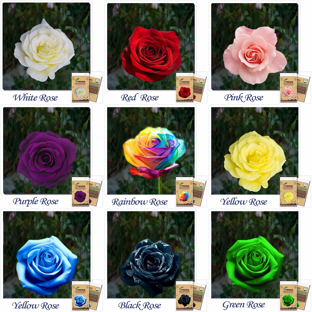 9 rose seed combination of different colors rare holland for Growing rainbow roses from seeds
