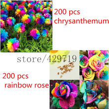 200 pcs rainbow chrysanthemum daisy seeds send you 200 rainbow rose seeds as gift rainbow flower seeds for home garden very rare
