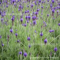Лаванда цветок бонсай импортные Аутентичные Духи завод Huang Ling ваниль бонсай может быть медицина 200 г/упак.