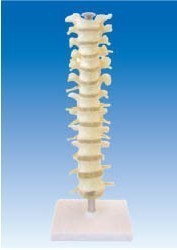 Thoracic spine model spine thoracic vertebrae with intervertebral disc and spinal nerve thoracic vertebrae medical teaching model anatomy biological4 stage model of lumbar intervertebral disc herniation model of lumbar spine model