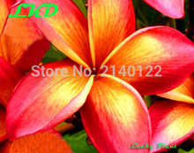 7-15inch Rooted Frangipani Plant Thailand Rare Real Plumeria Plants no118-jean-moragne-pink-2