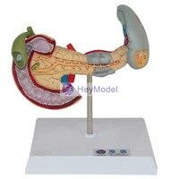 Heymodel cecum 및 appendix 모델 ileum 모델 림프 및 위장 교육 모델 장 모델