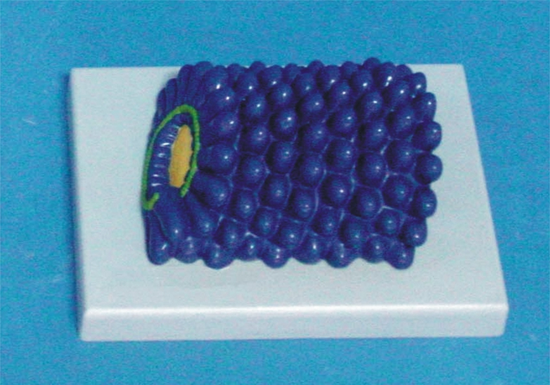 28 32 6 De Descuento Modelo De Virus De La Rábica Modelo De Estructura Molecular Modelo De Biología Modelo De Enseñanza Médica Material De Estudio