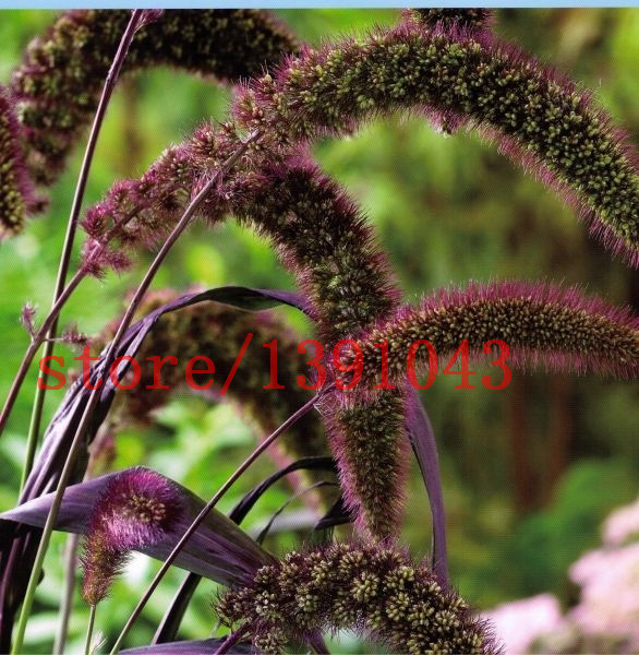 aliexpress  buy  red jewel millet setaria italica, Natural flower