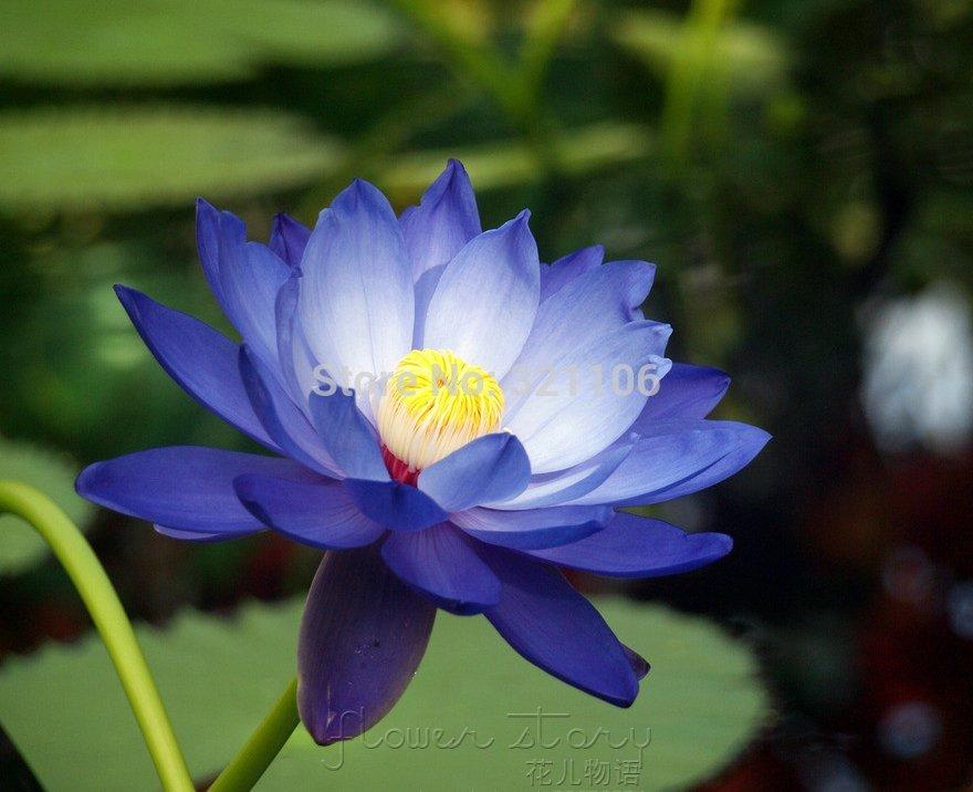20 blue moon lotus flower seeds amazing lotus aquatic plants label 20 blue moon lotus flower seeds amazing lotus aquatic plants label lotus 6free shipping in bonsai from home garden on aliexpress alibaba group mightylinksfo