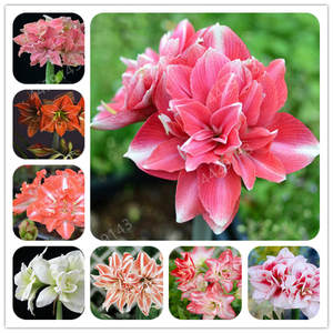 Flowers Rutilum-Bulbs Home-Garden-Decoration True-Color Indoor-Plants Love Hippeastrum