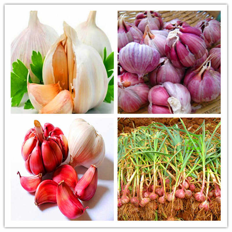 Hot Sale 300 Pcs Garlic Bonsai Pure Natural And Organic Vegetable Bonsai Healthy And Delicious Pungent Spice Vegetable
